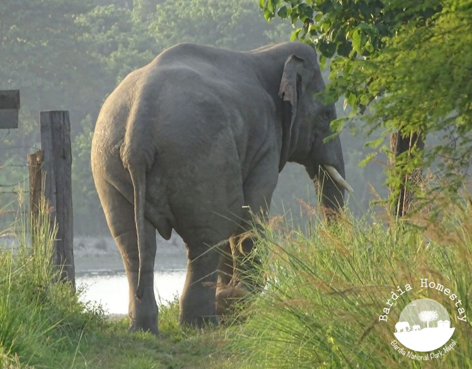 Asian elephant Bardia National Park