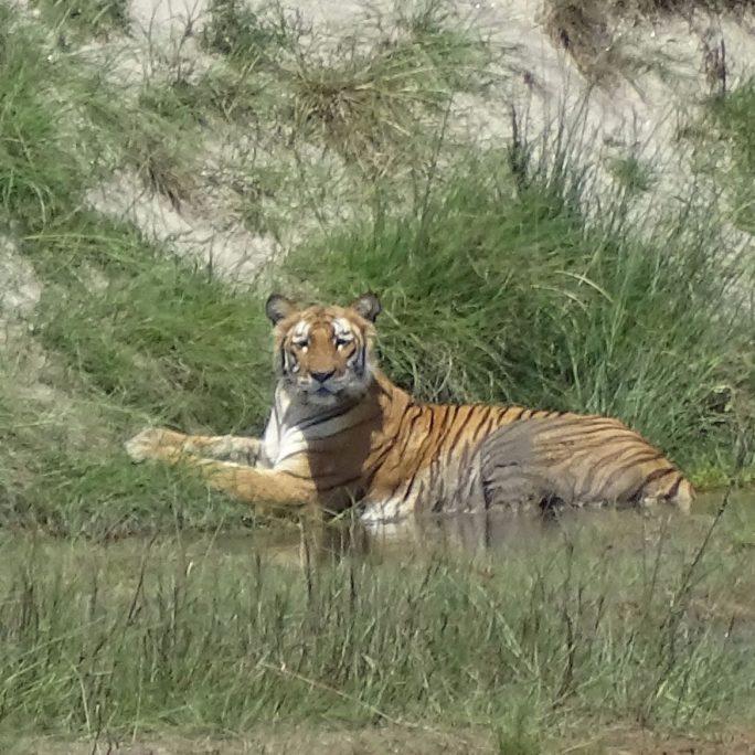 Bengal tiger Bardia National Park