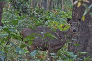 Sambar deer Bardia National Park