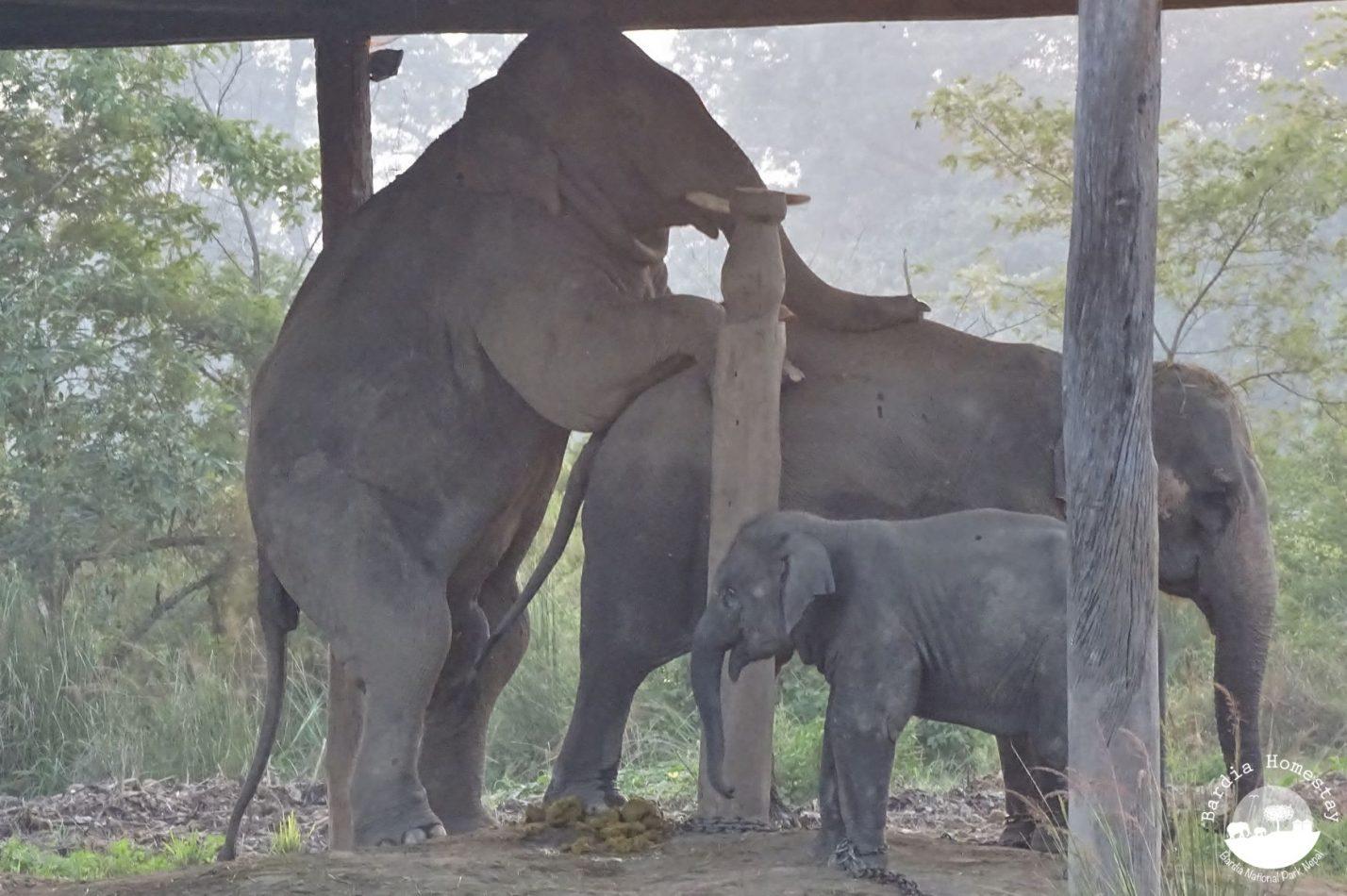 night visit of wild elephants bardia homestay nepal