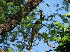 great hornbill Bardia National Park