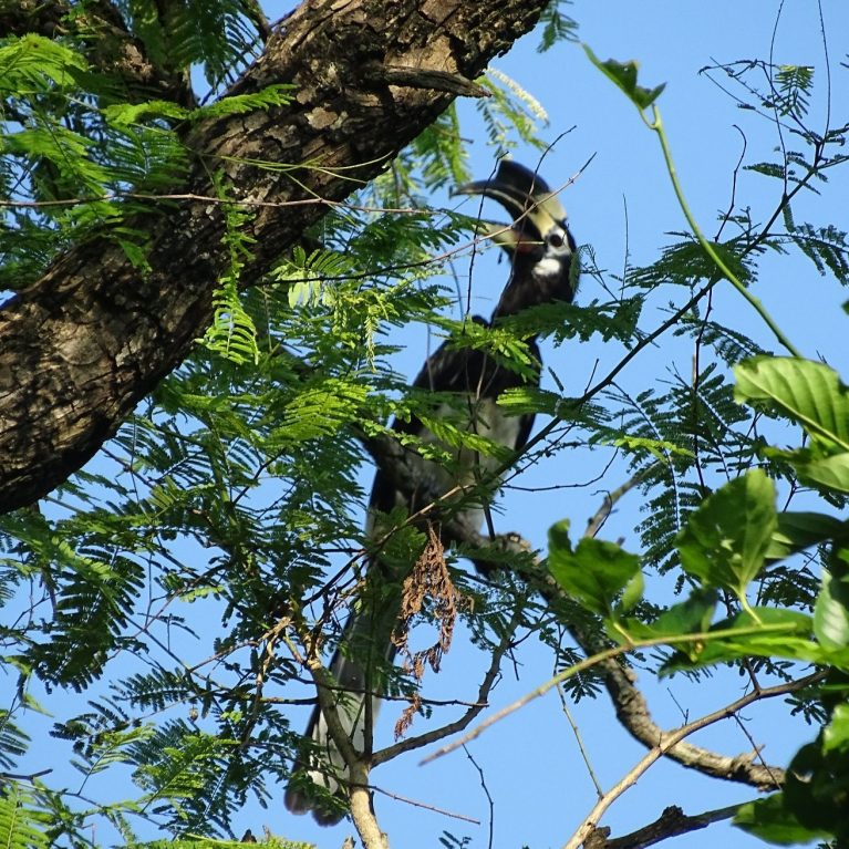 great hornbill Bardia National Park