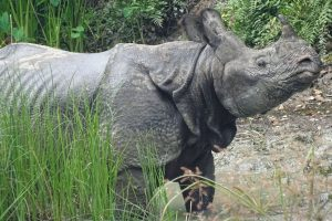 greater one horned rhino nepal bardia national park