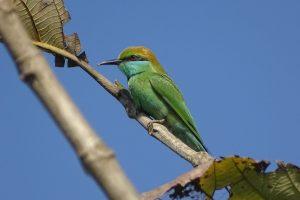 green bee eater Bardia National Park