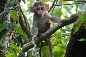 rhesus macaque monkey Bardia National Park