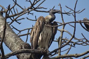 slender billed vulture Shuklaphanta wildlife reserve