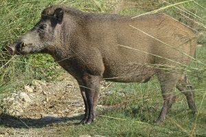 Wild boar Bardia National Park