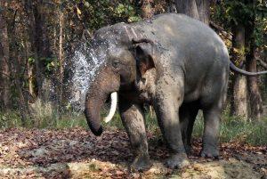 Asian Elepephant Bardia National Park Nepal