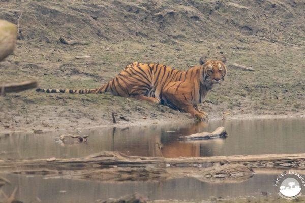 Bengal Tiger Bardia National Park Nepal