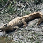 Marsh Mugger Crocodile Bardia National Park