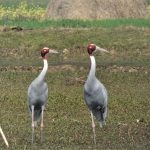 Sarus Crane Bardia National Park