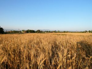 Wheat fields around Bardia Homestay Nepal