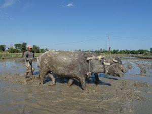 Ploughing the paddy field Bardiya Nepal