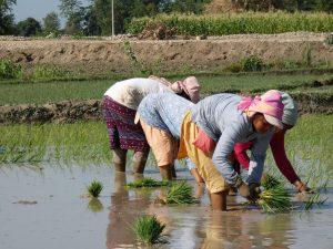 Rice plantation day Nepal