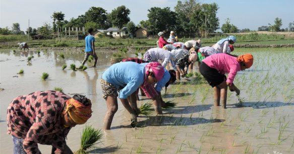 Rice plantation Bardia National Park