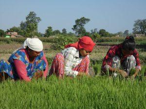 Rice plantation day Bardia National Park